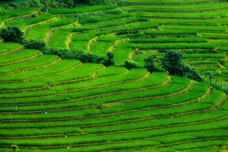 Reisfelder auf Terrasse Standard-Bild - 28079538