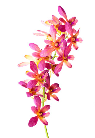 Orchid flower, isolated Standard-Bild