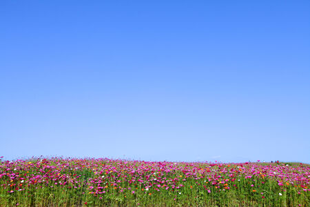 blossom cosmos flowers and blue sky background photo