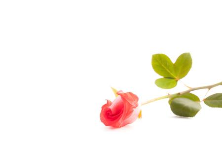 Rose on white background. photo