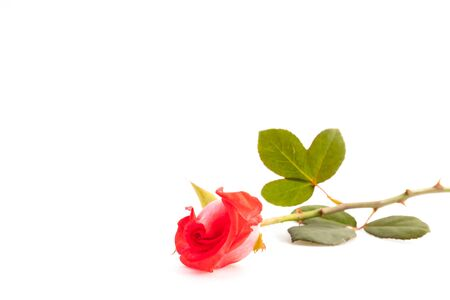 Rose on white . photo