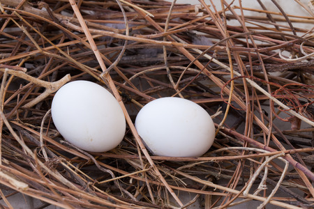 pigeon egg: Pigeon nest and two eggs.