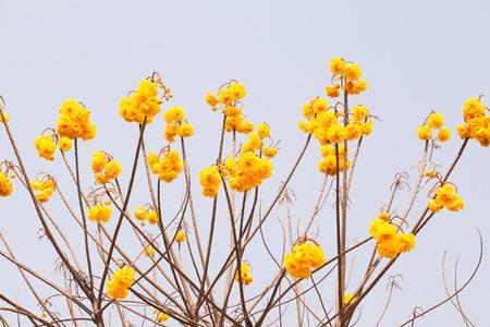 plant gossypium: Yellow silk cotton flower on white background, Cochlospermum religiosum Alston. Stock Photo