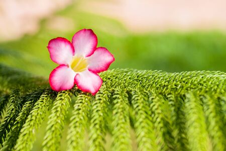 prickly flowers: Desert rose flowers on green prickly branches of a furtree or pine. Stock Photo