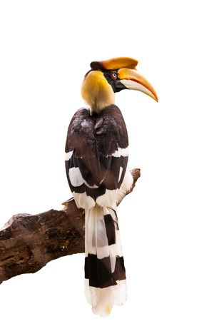 strikingly: Yellow Billed Hornbill Great hornbill, Great indian hornbill, Great pied hornbill, Hornbill. Stock Photo