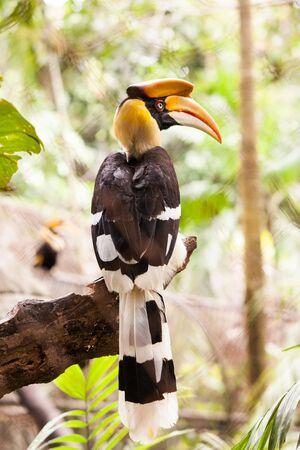 hornbill: Yellow Billed Hornbill Great hornbill, Great indian hornbill, Great pied hornbill, Hornbill. Stock Photo