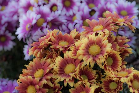 barberton daisy: Beautiful gerbera or Barberton daisy flower. Stock Photo