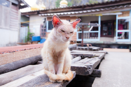 skin disease: Sick cat with skin disease.