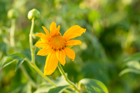 giant sunflower: Tree marigold, Mexican tournesol, Mexican sunflower, Japanese sunflower, Nitobe chrysanthemum
