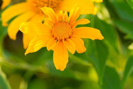 japanese chrysanthemum: Tree marigold, Mexican tournesol, Mexican sunflower, Japanese sunflower, Nitobe chrysanthemum