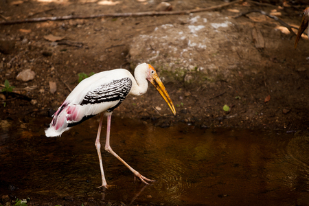 walk in: Painted StorkPainted Stork walk in the water.