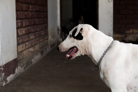 kampfhund: funny bull terrier.