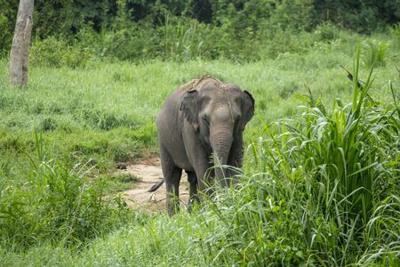 animal, asia, asian, background, beautiful, beauty, big, conservation, elephant, environment, foliage, forest, garden, grass, green, japan, jungle, landscape, large, leaf, mammal, moss, national, natural, nature, outdoor, park, plant, river, rock, safari, stone, strong, summer, thai, thailand, tourism, travel, tree, trees, tropical, trunk, water, wild, wilderness, wildlife Standard-Bild