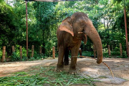 animal, asia, asian, background, beautiful, beauty, big, conservation, elephant, environment, foliage, forest, garden, grass, green, japan, jungle, landscape, large, leaf, mammal, moss, national, natural, nature, outdoor, park, plant, river, rock, safari, stone, strong, summer, thai, thailand, tourism, travel, tree, trees, tropical, trunk, water, wild, wilderness, wildlife Standard-Bild - 131918562