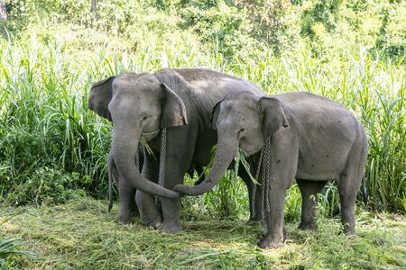 animal, asia, asian, background, beautiful, beauty, big, conservation, elephant, environment, foliage, forest, garden, grass, green, japan, jungle, landscape, large, leaf, mammal, moss, national, natural, nature, outdoor, park, plant, river, rock, safari, stone, strong, summer, thai, thailand, tourism, travel, tree, trees, tropical, trunk, water, wild, wilderness, wildlife Standard-Bild - 131918722