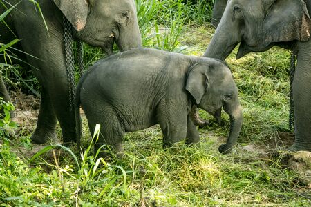 animal, asia, asian, background, beautiful, beauty, big, conservation, elephant, environment, foliage, forest, garden, grass, green, japan, jungle, landscape, large, leaf, mammal, moss, national, natural, nature, outdoor, park, plant, river, rock, safari, stone, strong, summer, thai, thailand, tourism, travel, tree, trees, tropical, trunk, water, wild, wilderness, wildlife Standard-Bild - 131918506