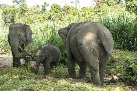 animal, asia, asian, background, beautiful, beauty, big, conservation, elephant, environment, foliage, forest, garden, grass, green, japan, jungle, landscape, large, leaf, mammal, moss, national, natural, nature, outdoor, park, plant, river, rock, safari, stone, strong, summer, thai, thailand, tourism, travel, tree, trees, tropical, trunk, water, wild, wilderness, wildlife Standard-Bild - 131918559