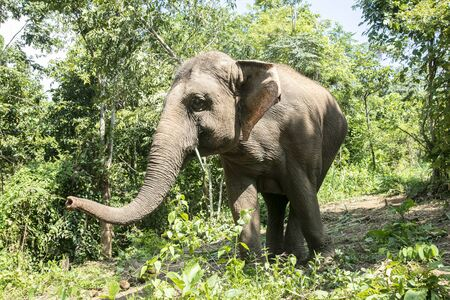 animal, asia, asian, background, beautiful, beauty, big, conservation, elephant, environment, foliage, forest, garden, grass, green, japan, jungle, landscape, large, leaf, mammal, moss, national, natural, nature, outdoor, park, plant, river, rock, safari, stone, strong, summer, thai, thailand, tourism, travel, tree, trees, tropical, trunk, water, wild, wilderness, wildlife Standard-Bild - 131918210