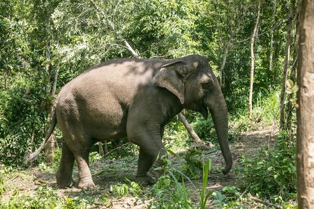 animal, asia, asian, background, beautiful, beauty, big, conservation, elephant, environment, foliage, forest, garden, grass, green, japan, jungle, landscape, large, leaf, mammal, moss, national, natural, nature, outdoor, park, plant, river, rock, safari, stone, strong, summer, thai, thailand, tourism, travel, tree, trees, tropical, trunk, water, wild, wilderness, wildlife Standard-Bild - 131918554
