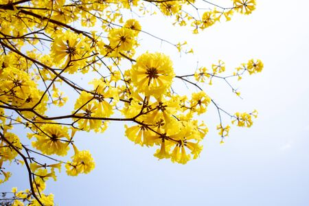 Yellow blossoms flower on day sky