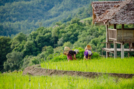 Chiang Mai, Thailand. 20 Aug 2020 ; Rice farmers transplant in the paddy field on rice field terraced in north Thailand, Mae jam, Chiang Mai, Thailand.