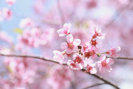 pink cherry blossom on spring