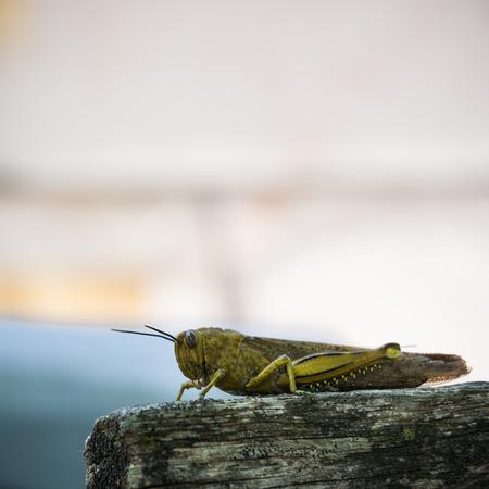 Closeup big grasshopper sitting on a piece of wood photo