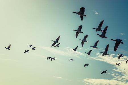 Grote groep van vliegende ganzen