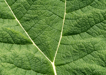 Giant gunnera leaf. Gunnera leaves are sometimes called Dinosaur food due to their prehistoric appearance