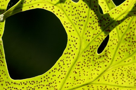 Fern leaf with spores many light impact Stock Photo - 6925214