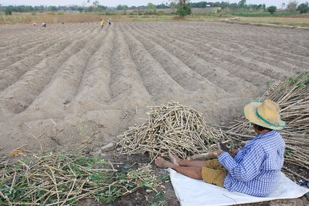 Farmers are planting cassava photo
