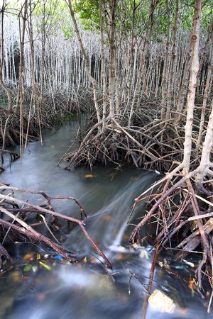 Mangroves forest Stock Photo - 7017615