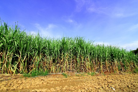 Sugarcane in Thailand Stock Photo - 8146307