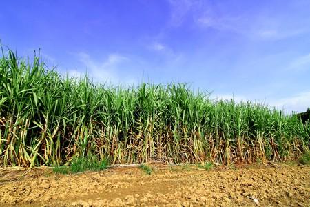 sugar land: Sugarcane in Thailand