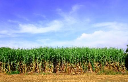 sugar cane farm: Sugarcane in Thailand