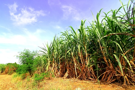 field of thai: Sugarcane in Thailand