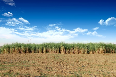 Sugarcane in Thailand Stock Photo - 8604259