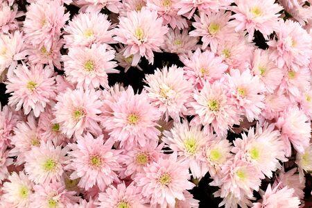 Many beautiful pink chrysanthemums, autumn bouquet, close-up Stock Photo - 9011006