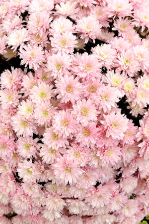 Many beautiful pink chrysanthemums, autumn bouquet, close-up Stock Photo - 9011010