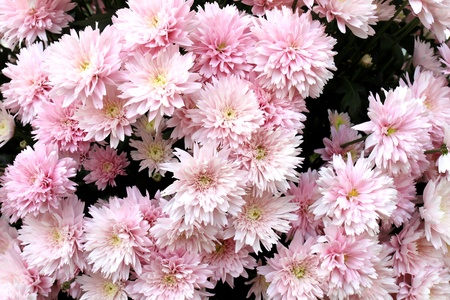 Close up of beautiful pink flower background Stock Photo - 9006906