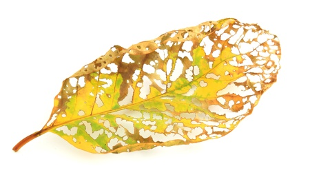 dry leaf lip isolated photo