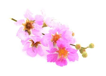 Close detail of Pink flowers photo