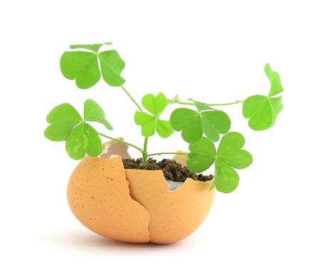 wachsende gr??nen Pflanze in Eierschale auf weißem Hintergrund Standard-Bild