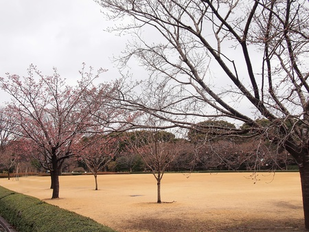 pink cherry blossoms in the spring on the grounds of Tokyo Imperial Palace photo