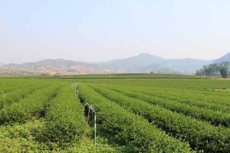 Green Tea Farm photo