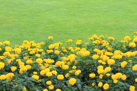 ringelblumen: Marigold Gelbe Blumen-Feld in den gr�nen Garten