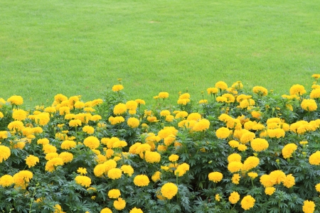 garden marigold: Marigold Yellow Flower field in the green garden  Stock Photo