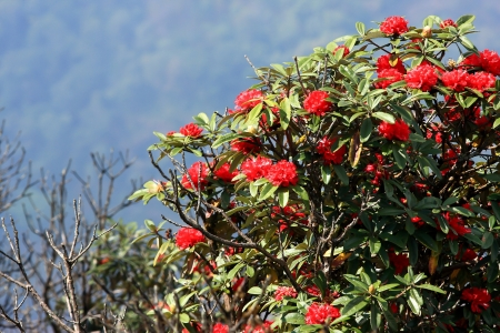 rhododendron flower background in Doi Inthanon, Thailand. photo