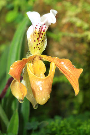 orchideae: beautiful yellow orchid