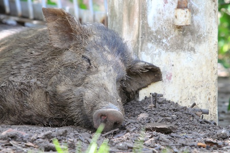 Wild boar sleeping photo